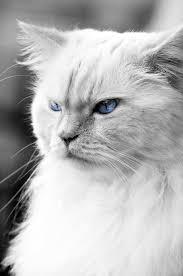 Birman Cat Personality