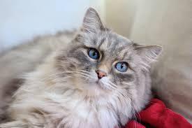 How Long do Birman Cats Live?