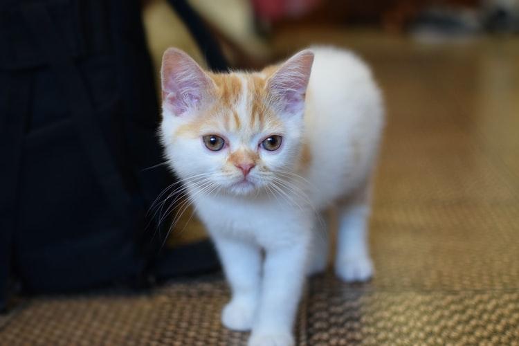 Birman Cats For Adoption