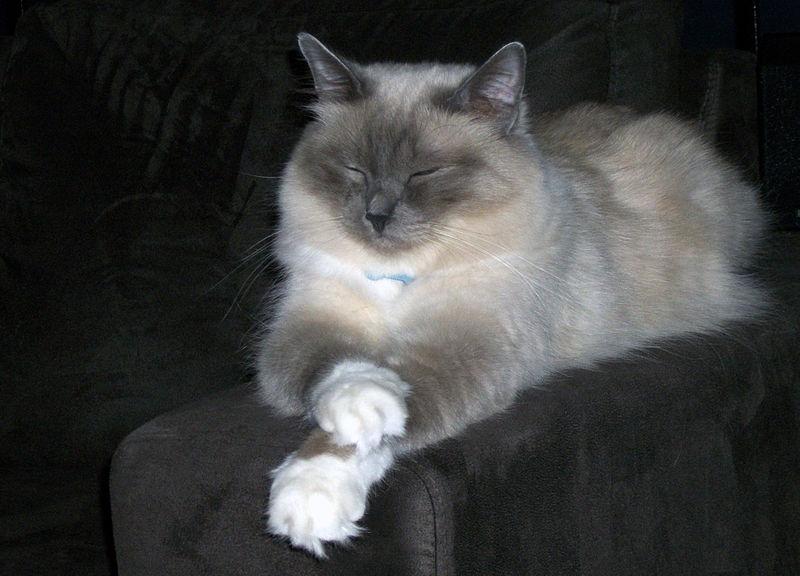 lilac point birman cat