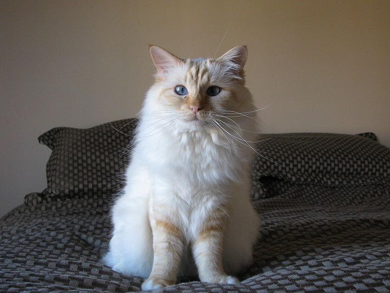 Red Point Birman Cat
