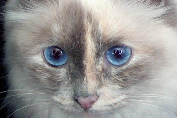 Blue Point Birman Cat