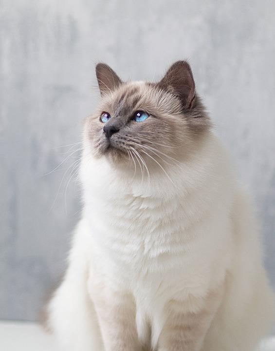Birman Cat Health Issues